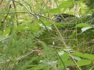 Mr. Snake (yes, that's his official name) slithering through the brush near my bird feeder this afternoon.