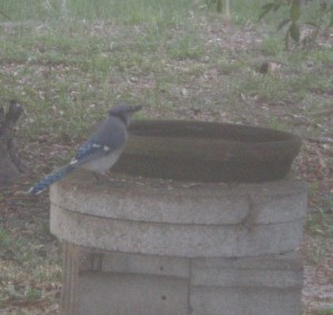 Mr. Bluejay looks for peanuts at the bird bath.