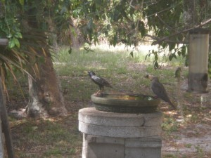 Birds of dissimilar feathers (a grackle and a mourning dove) stake their perches at the bird bath.