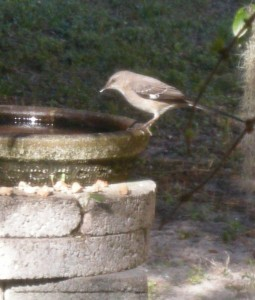 Madame Mockingbird stops for a drink.