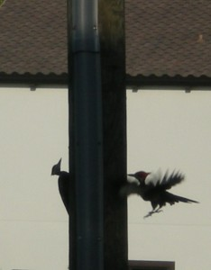 pileated-2