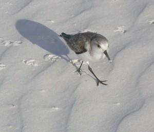 one-sanderling