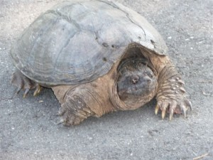 This snapping alligator turtle wasn't exactly in my backyard -- but he was in the neighborhood, and I think that counts!
