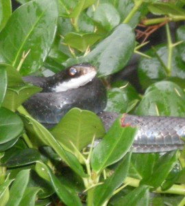 This snake was relaxing atop some bushes, drinking in the drizzle of rain that was following.