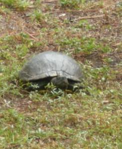 turtle-in-the-backyard