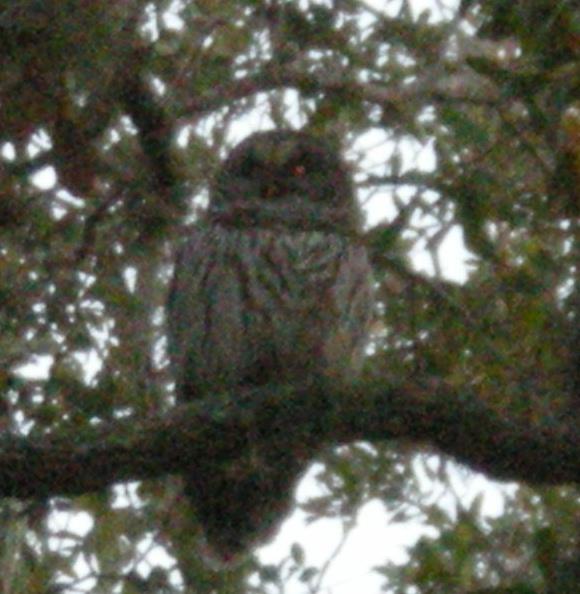 owl-in-tree-2