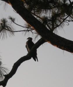 osprey-in-tree
